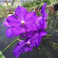 Banjong Orchids