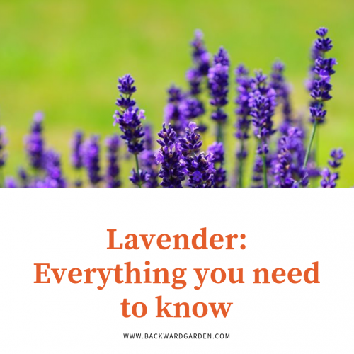 Guide to grow lavender in your backyard garden