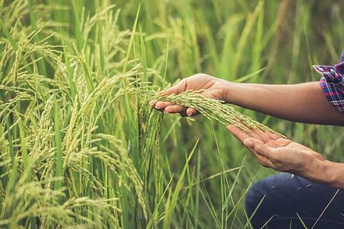 Pertanian Indonesia 4
