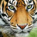 Tiger Jarvis